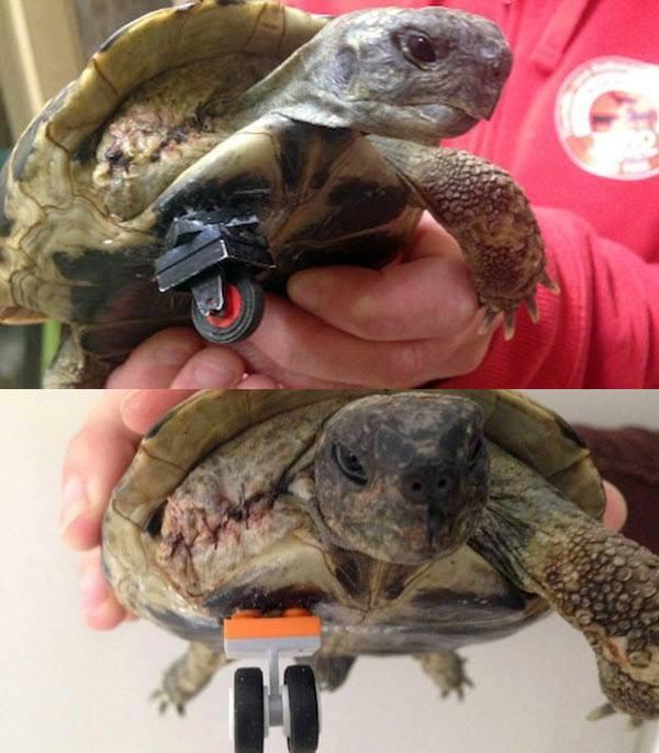 Meet Schildi the tortoise!